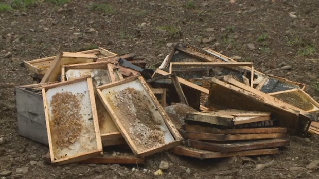 Black bears have caused thousands of dollars in damages to beehives in Hainesville, N.B.