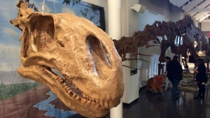 The never-before-seen World's Giant Dinosaurs exhibit features dinos from plant-eating Sauropods to meat-eating T. rexes.(Source: Scott Andersson/CTV News)