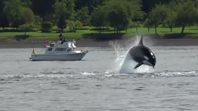 Researchers say the mother orca was teaching its young calves how to hunt.