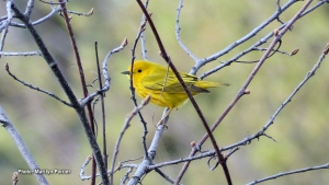 A beautiful yellow warbler taken at the Beaver Pond.  It constantly flits around in the trees, making it a challenge to capture. (Marilyn Poirier/CTV Viewer)