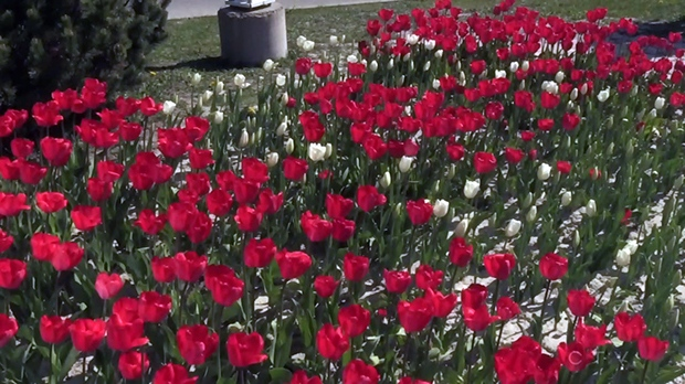 The tulips celebrating Canada's 150th birthday are now in full bloom.