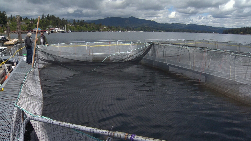 More than 200,000 healthy Chinook salmon smolts are currently being held in a temporary holding enclosure in the Sooke basin. May 17, 2017 (CTV Vancouver Island)
