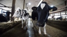Dairy cows are shown in a barn on a farm in Eastern Ontario on Wednesday, April 19, 2017. (Sean Kilpatrick/The Canadian Press)
