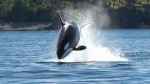 The mother orca was seen leaping and diving into the water as it hunted a sea lion.