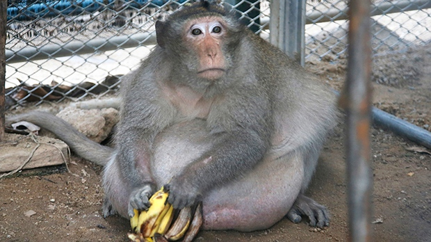 "A wild obese macaque named ""Uncle Fat,"" who was rescued from a Bangkok suburb, sits with bananas in a rehabilitation center in Bangkok, Thailand, Friday, May 19, 2017. (AP Photo/Sakchai Lalit)"