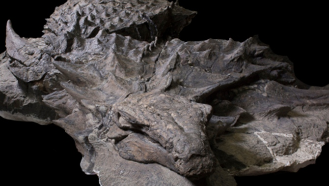 A well-preserved nodosaur fossil is on display at the Royal Tyrrell Museum in Alberta. (Photo courtesy Royal Tyrrell Museum)