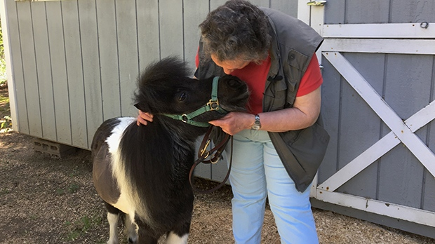 In this Friday, May 12, 2017, photo, Ann Edie, who has been blind since birth, pets her miniature guide horse Panda on a street near her home in suburban Albany, N.Y.  (AP Photo/Mary Esch)