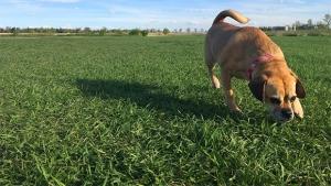 A dog at an off leash park. (KARYN MULCAHY/CTV NEWS)