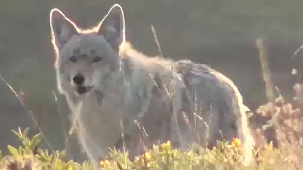 Experts say this is the time of year when coyotes set up dens to raise their young, so they are very territorial. (Supplied/YouTube)