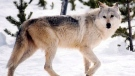 This undated file image provided by Yellowstone National Park, Mont., shows a gray wolf in the wild. (THE CANADIAN PRESS / AP-National Park Service, MacNeil Lyons, File)