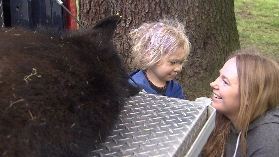 A number of families in East Vancouver started their day with a black bear sighting near the PNE. The bear was tranquilized and will be relocated. (CTV)
