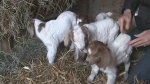 Goat gives rare birth at local ranch