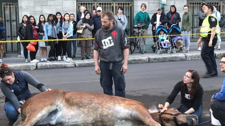 A horse remains on the ground after falling in Quebec City on Saturday, May 20, 2017 (Photo: Facebook/Shannon Dobransky)