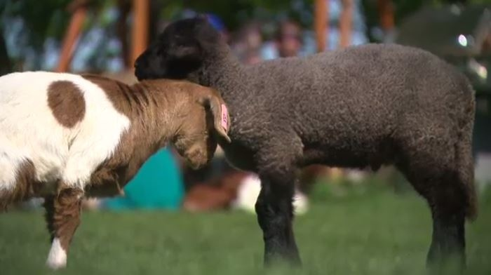Daisy and Merlin have become best friends since the goat arrived at FARRM last week.