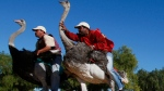 In this Sunday, June 27, 2010 file photo two men compete in an ostrich race at Highgate ostrich farm in Oudtshoorn, South Africa. (AP Photo/Shuji Kajiyama, File)