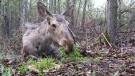 Moose dies in woman's property