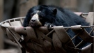In this July 8, 2016 photo, a spectacled bear lounges in a basket in an enclosure at the former city zoo now known as Eco Parque, in Buenos Aires, Argentina. (AP Photo/Natacha Pisarenko)