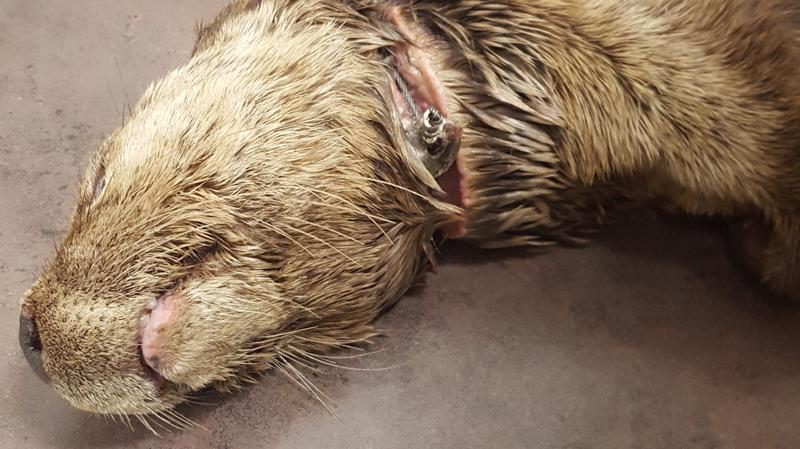Injured river otter