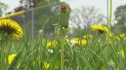 Weaselly weeds: How can you get rid of dandelions?