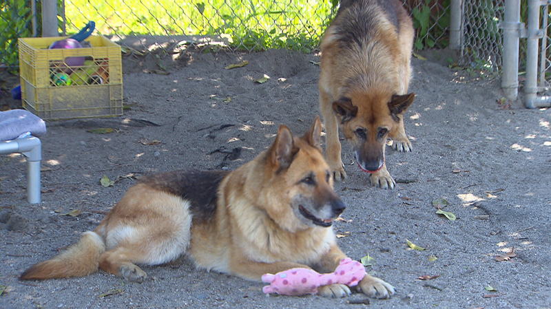 Fred and Ginger the senior German shepherds will get hydrotherapy treatment thanks to a generous $275,000 donation to the New Westminster Animal Shelter. (CTV)