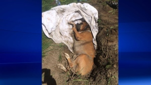 A dog was found buried alive in the Monteregie. (photo: SPCA Monteregie)