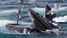 In this photo taken July 9, 2014, humpback whales feed at the Stellwagen Bank National Marine Sanctuary off Cape Cod near Provincetown, Mass. (AP Photo/J. Scott Applewhite)