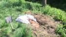 A dog was found in a hole in Saint-Paul-d'Abbotsford, Que., injured but alive, on May 23, 2017. (SPCA Montegerie)