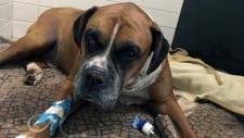 spca, dog, buried alive