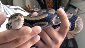 Florida man finds python in his pantry
