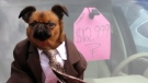 Dressed up dog hawks used cars on YouTube