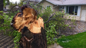 Tree down - St. Albert