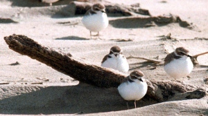 FILE- In this undated file photo, snowy plovers cluster on the Oregon coast beach near Coos Bay, Ore.  (Randy L. Rasmussen /The Oregonian via AP, File)