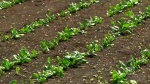 Holland Marsh farmers salvage crops
