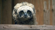 Orphaned baby owl rescued, fostered by adult owl