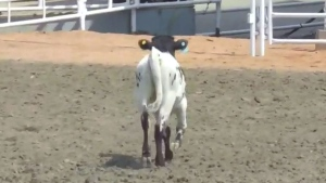 Montreal prof trying to stop rodeo from coming to