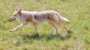 CTV Calgary: Park closed because of coyotes