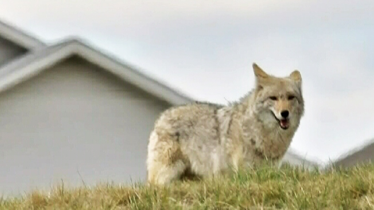 Here's what LaSalle residents need to know about trapping coyotes