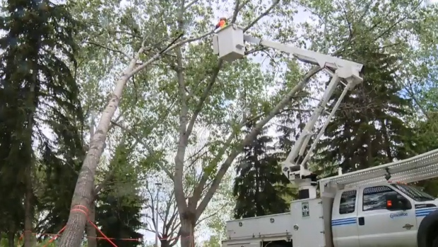 City of Edmonton crews work to clean up a fallen tree on Thursday, May 25, following Wednesday's massive storm.