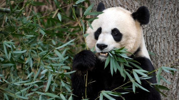 Oh baby! DC zoo officials hoping to get panda pregnant