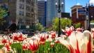 Lovely Tulips greeting Winnipeg. Photo by Jeff Vernaus.