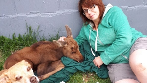 Brandi Calder sitting next to the moose calf. (THE CANADIAN PRESS)