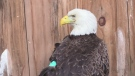 Eagle has lead poisoning after lead pellet used.