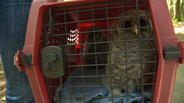 A pair of owlets believed to have been blown out of a tree during a windstorm were given a second chance at life by a group of volunteers in Nanaimo's Colliery Dam Park. Friday, May 26, 2017. (CTV Vancouver Island)