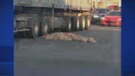 A delivery truck that was bringing carcasses lost some of its load near the Sanimax plant.