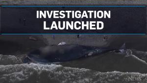 Whale death