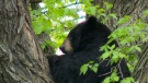 The bear got stuck in the tree approximately 40 feet in air, WPS spokesperson Const. Jay Murray said. (Photo: Daniel Timmerman/CTV Winnipeg)