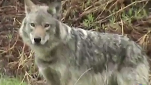 CTV Northern Ontario: Lone Wolf