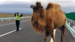 CTV News Channel: Camels shut down Chinese highway