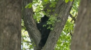 Black bear climbs up tree in south Winnipeg