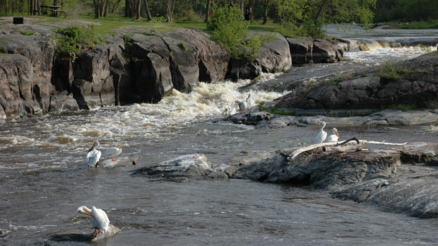 Pelicans at Whitemouth Falls Provincial Park. Photo by Alvera Brandt.